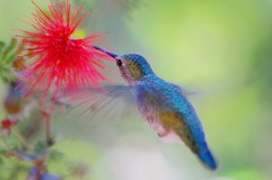 27752054_1214250060_94188554_eiUeHOWX_HummingbirdAtAFairyDuster_86950